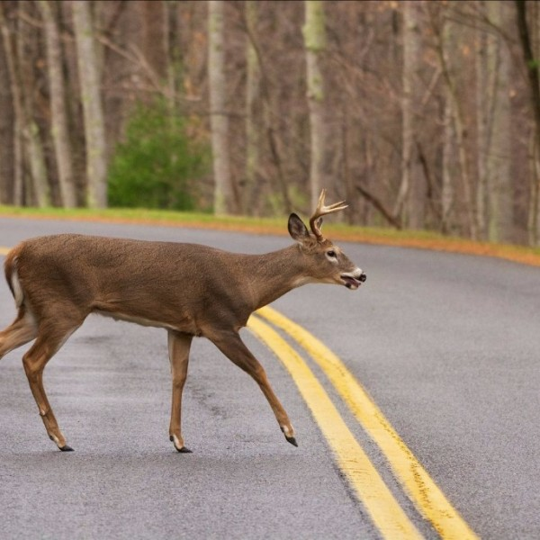 deer on road_1537815813492.jpg.jpg